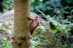 IMG_2388 (Kenno79) Tags: wood tree nature animal squirrel redsquirrel sciurusvulgaris egern