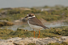 Semipalmated Plover [ Explored ] (Dan's Perceptions) Tags: park lake ontario canada rock point erie plover provincial semipalmated semipalmatus charadrius