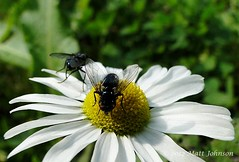 Scentless Mayweed (Tripleurospermum inodorum) (sortedphoto) Tags: uk wild england white flower yellow insect fly leaf stem flora south petal southern flies pollen wiltshire wildflower salisburyplain southernengland mayweed tripleurospermum scentlessmayweed tripleurospermuminodorum scentless inodorum sonydschx1