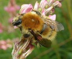 Bombus humilis queen - Bustard Verdette, Salisbury Plain 2011b (Steven Falk) Tags: bee steven humilis falk bombus carder apidae brownbanded