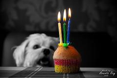 Toby, Mini Maltezer, Mini Maltese (Arents Roy) Tags: birthday toby dog 3 happy verjaardag sony year gimp hond tamron jaar lightroom a500 2875mm minimaltese minimaltezer