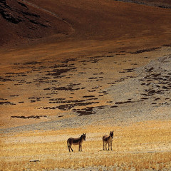 Indian Summer lights in Wonderland - Wild Horses - Himalayan Landscapes - SQ (Mathias Kellermann (as Titus1st)) Tags: light shadow wild horse orange cloud mountain color grass yellow rock jaune montagne canon wonderful square landscape cheval eos fantastic mark lumire iii best ombre 100views mineral 5d faves format himalaya nuage paysage sq ladakh herbe carr sauvage formatcarr morethan100views excapture mathiaskellermann plusde100vues