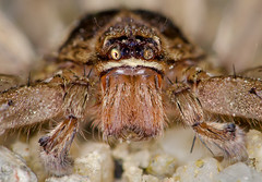 wolf spider stack (TOPS78) Tags: macro nightshoot admiraltypark nikon200mm nissinringlight