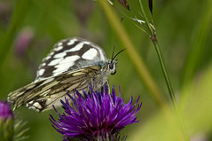 Marbled White (Chris McLoughlin) Tags: butterfly yorkshirewildlifetrust sal100m28 chrismcloughlin marblewhitebutterfly brockadalenaturereserve sonya580