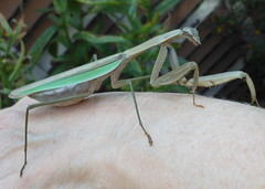On The Arm (clyde7995) Tags: animals closeup giant mantis insect extreme statenisland mantid