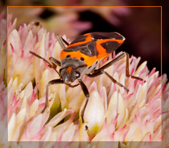 Small Eastern Milkweed Bug (tresed47) Tags: macro bug us pennsylvania butterflies content insects places bugs technical type folder ringflash 2012 takenby springtonmanor peterscamera petersphotos 20120908springtonandhome