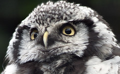 Northern Hawk Owl Portrait (Stephen Bridson) Tags: wild portrait bird nature animal closeup blackbackground photography zoo photo eyes nikon wildlife feathers sigma owl wildanimal birdofprey onblack chesterzoo northernhawkowl birdphotos sigma70300mmdgmacro nikond3000 highqualityanimals
