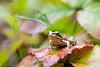_MG_0423 (Den Boma Files) Tags: fauna dieren kikker amfibieen stropersbos