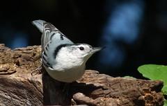 When Sunny Gets Blue..... (vtpeacenik) Tags: bird female vermont september whitebreastednuthatch