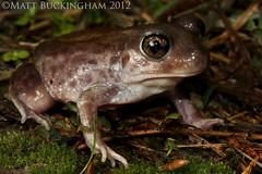 Hurter's Spadefoot (Matt Buckingham) Tags: nature rain amphibian frog toad easttexas naturephotography spadefoot spadefoottoad hurtersspadefoottoad scaphiopus hurtersspadefoot scaphiopushurterii mattbuckingham