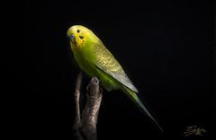 yaki sobre negro (silversaltphoto) Tags: pets verde bird nikon parrot aves estudio amarillo pajaros yelow mascotas periquito senosiain budgerigard d700 silversaltphoto