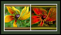 Before and after. (tarelkaz1) Tags: flowers orange macro green collage crazy flora memories experiment topshots flowersarebeautiful excellentsflowers natureselegantshots naturethroughthelens sonydscs730 theoriginalgoldseal mygearandme