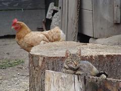 The Kitten and the Chicken (Paul.White) Tags: portrait pet chicken yard cat photography backyard kitten image romania transylvania ojdula ozsdola
