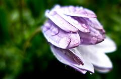 Windswept (Kalyna Harasymiv) Tags: flower colour macro tree green nature rain garden october purple australia canberra