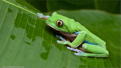 Yellow-eyed Tree Frog (Raymond J Barlow) Tags: macro costarica frog workshop 200400vr nikond300 raymondbarlowtours