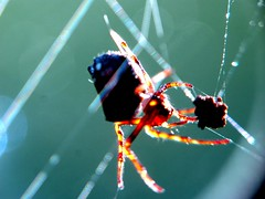 the trap (frankieleon) Tags: macro spider interestingness interesting bestof stuck spiderweb cc creativecommons capture popular caught trap spidersilk frankieleon