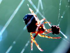 the trap (frankieleon) Tags: macro spider interestingness interesting bestof stuck spiderweb cc creativecommons capture popular caught trap spidersilk frankieleon
