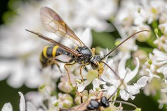Unidentified wasp (stephensmith54831) Tags: macro wasp hymenoptera sbr200 tokina100mm d7000