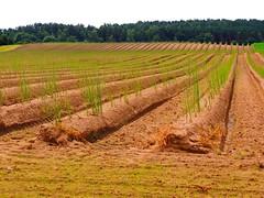 Spargelfeld - asparagus field (Sophia-Fatima) Tags: dargow schleswigholstein deutschland spargelfeld asparagusfield getreide getreidefeld cereals field fields felder