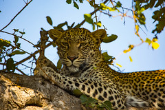 Leopardess in tree (Steve Glasgow) Tags: southafrica tandatula za2016