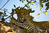 Leopardess in tree (Steve Glasgow) Tags: southafrica tandatula za2016