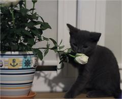 IMG_2549 (murkla_la) Tags: cat russianblue moussie gray graycat