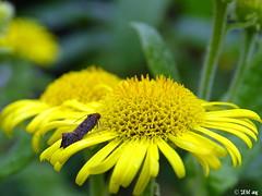 unbekannter Mini-Falter (MacroManni) Tags: deutschland germany nrw rheinerftkreis schmetterling falter tagfalter butterfly papillon makro macro insekten insects blume flower gelb yellow