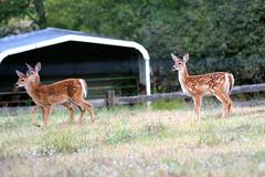 The Triplets (jimgspokane) Tags: deer fawns triplets wildlife forests countryroads washingtonstate spokanewashingtonstate