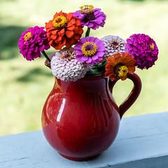 Zinnias (pbradyinct) Tags: watertownflower pitcher connecticut flowers pink zinnia purple orange red