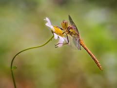 Dragonfly (Ramn Menndez Covelo) Tags: dragonfly liblula odonato odonata alas wings ojos eyes bicho bug pequeo small macro macrofotografa macrophotography nature naturaleza flow flower margarita olympus zuiko