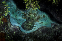 octopus in green (b.campbell65) Tags: animal beautiful big camoflauge caribbean caymanbrac coral dive island marine natural nature ocean octopus reef scuba sea seascape swim travel tropical underwater water wild wildlife