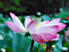 Perfectly imperfect (larruh) Tags: lotus pastel pink bloom plant flower blossom petal indianlotus nelumbonucifera outdoor