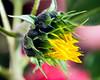 Emerging Sunflower (hz536n/George Thomas) Tags: 2016 cs5 canon canon5d ef100mmf28lmacroisusm flora michigan prescott summer copyright nature upnorth sunflower macro helianthus