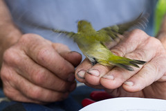 Tennessee Warbler (Arlen Breiholz) Tags: animals birdbanding birds cameras eos7d fwkentpark iowa johnsoncounty places songbirds usa wildlife