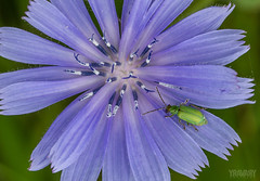 Chicorée Sauvage / Blue Sailor / cichorium intybus (yravaryphotoart.com) Tags: canon7d canonef100mmf28lmacroisusm yravaryphotoartcom yravaryphotoart flower fleur plant plante chicoréesauvage bluesailor cichoriumintybus macro nature