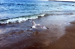 Photo of the Day Project, Aug. 26, 2016: A seagull on Manasquan Beach dips its toes into the Atlantic Ocean. (apardavila) Tags: atlanticocean beach jerseyshore manasquan manasquanbeach seagull
