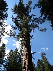 The Big Tree - largest Ponderosa Pine (Pinus ponderosa) in Oregon - LaPine State Park, Oregon, Aug 2015 (Judith B. Gandy) Tags: pines trees pinus tree bark trunks oregon lapinestatepark pinetrees pinusponderosa ponderosapines treebark treetrunks