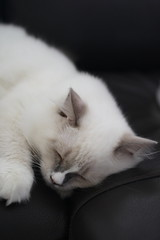 Canon_20160827016 (Snowy Olaf) Tags: kitten britishlonghair       feliscatus   canon eos400d ef50mmcompactmacro f25