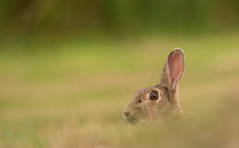 Wild Rabbit (Wouter's Wildlife Photography) Tags: wildlife nature mammal rodent wildrabbit rabbit oryctolaguscuniculus ameland pattedyr explore