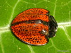 Cyrtonota trigonota? Cassidinae, Chrysomelidae (Ecuador Megadiverso) Tags: andreaskay beetle cassidinae chrysomelidae coleoptera cyrtonotatrigonota ecuador leafbeetle loscedros tortoisebeetle