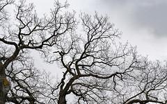 Bifurcation (tycampbe) Tags: ifttt 500px trees sky tree abstract branches oak minimalism bifurcation