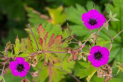 JML-2016-IMG_9216 (photo.jml) Tags: couleurs colors flowers fleurs nature