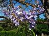 Jacaranda (rockwolf) Tags: jacaranda flowers tree arbre fleurs fontgombault indre france 2016 rockwolf