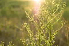 DSC_0970 (Azezra) Tags: sunset plant plants daisy daisies flower flowers trees nature macro bokeh chewelah washington field sun evening beautiful beauty nikon d3300 nikond3300 closeup alfalfa grass