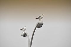 Baywatch (JC Arranz) Tags: espaa naturaleza asturias cudillero niebla aves gaviotas farola