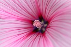 stripy blossom (dr.larsbergmann) Tags: bloom blossom macro stripy eos flickr summer outdoor nature flora canon