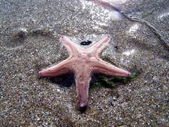 Sand Star Astropecten irregularis Starfish 2 (ERIK THE CAT Struggling to keep up) Tags: starfish echinoderms barmouth beach wales marine