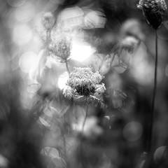 Summer Wildflowers 023 (noahbw) Tags: captaindanielwrightwoods d5000 dof nikon abstract blackwhite blackandwhite blur bokeh bw depthoffield dreamlike dreamy flowers forest landscape light monochrome natural noahbw square summer woods