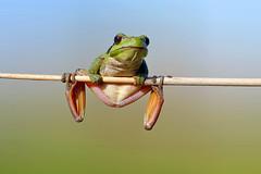 Hello! - Oi! (Yako36) Tags: portugal peniche atouguiadabaleia r rela frog nature natureza panasonicdmclx7