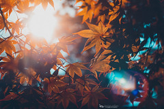 From Red to Orange (The Gaggle Photography | Jessica Nelson) Tags: helios heliosfreelensed freelensing freelensed red maple jessicanelson gagglephotography